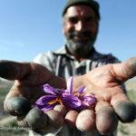Saffron (5)