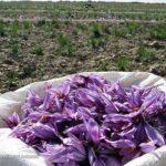 Saffron (6)