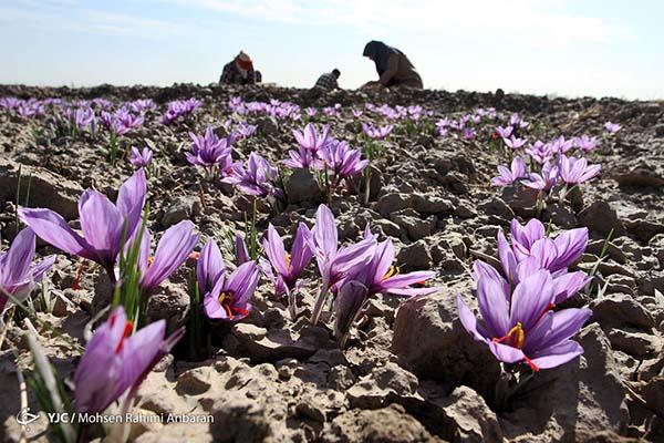 Saffron (7)
