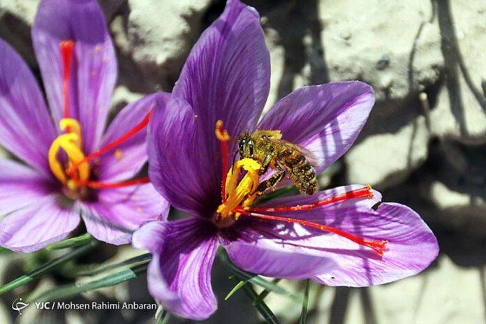 Saffron_983