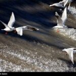 Migratory birds_666