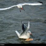 Migratory birds_676