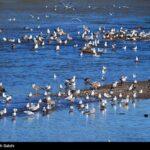 Migratory birds_893