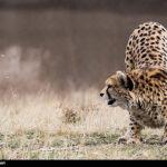Cheetah Day-5