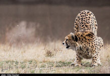 Cheetah Day-5