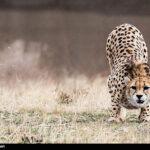Cheetah Day-6