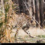 Cheetah Day-7