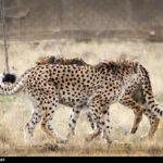 Cheetah Day-9