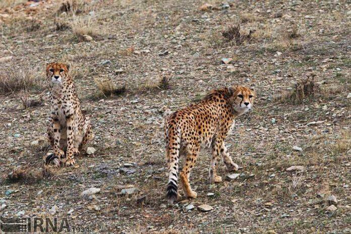 Cheetah Day0