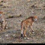 Cheetah Day2988430-4673799