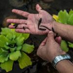 Medicinal leeches-29-