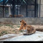 Siberian tiger11
