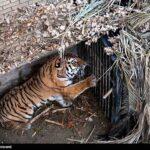 Siberian tiger12