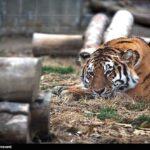 Siberian tiger2
