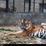 Siberian tiger3