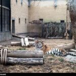 Siberian tiger5