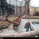 Siberian tiger6