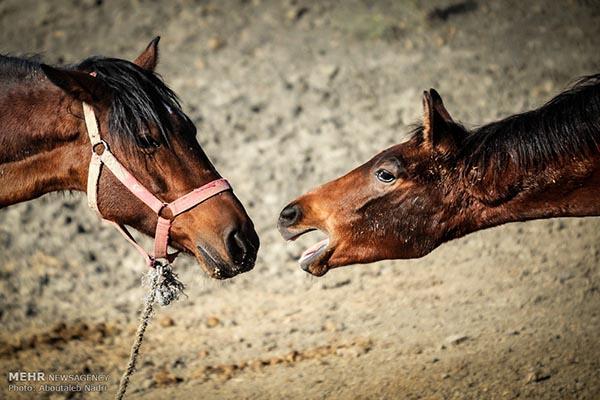 Turkmen thoroughbred horses (PHOTOS)