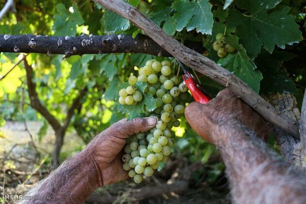 Grape Harvest -11-