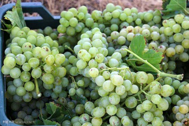 Grape Harvest -12-