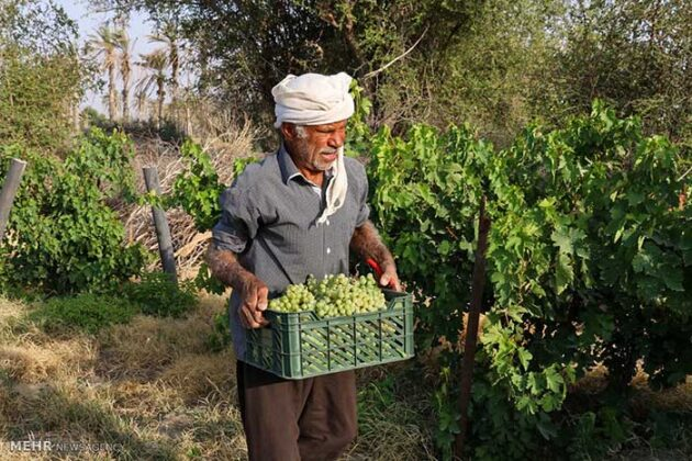 Grape Harvest -14-