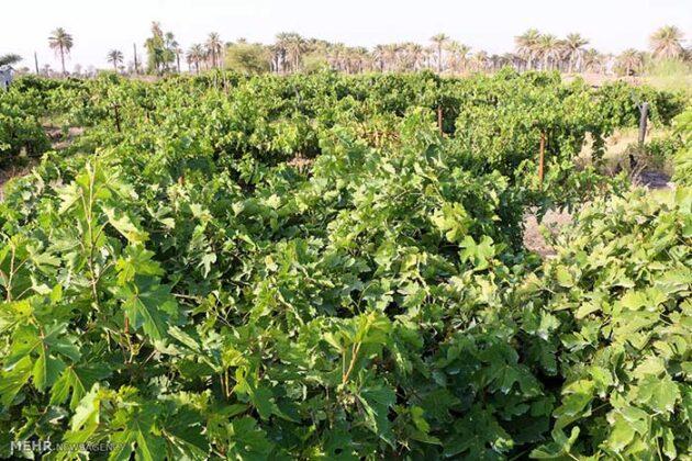 Grape Harvest -17-