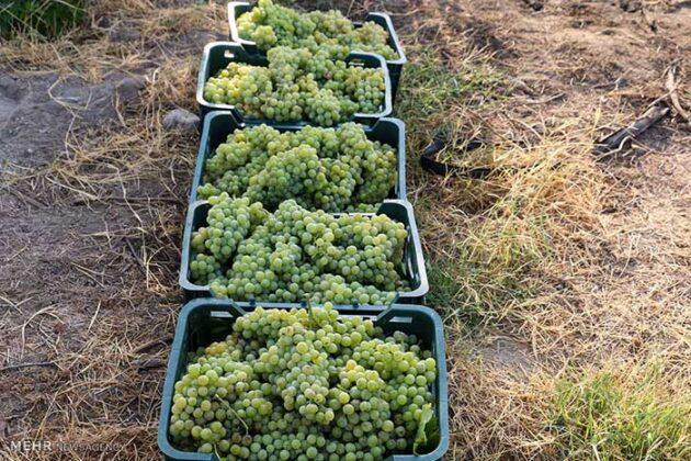 Grape Harvest -21-