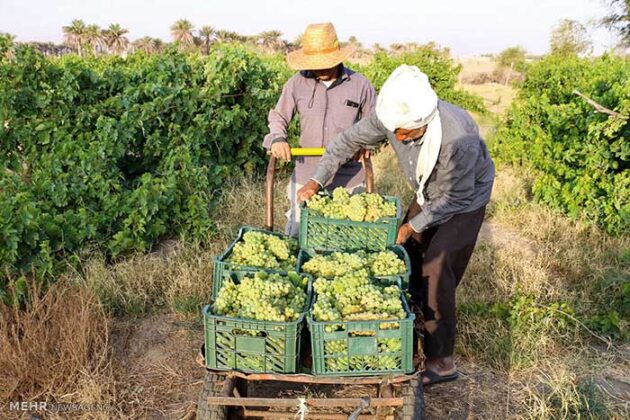 Grape Harvest -28-