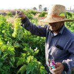 Grape Harvest -6-