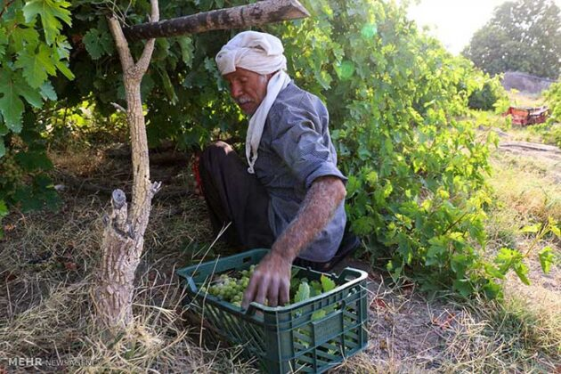 Grape Harvest -7-