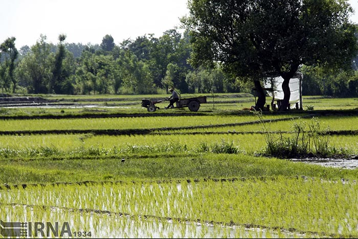Rice Transplantation -5034456