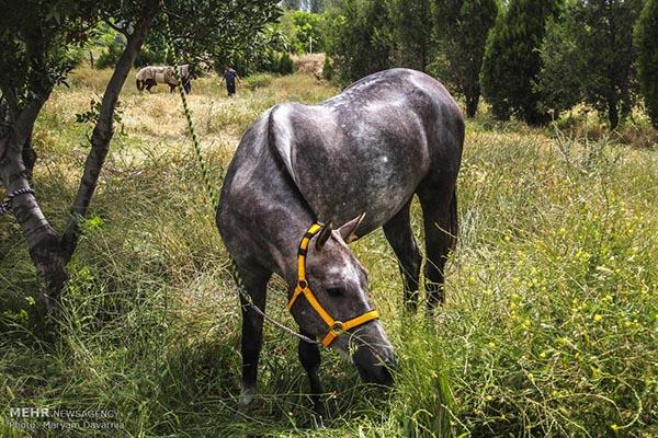 Turkmen-Horse-10