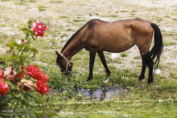Turkmen-Horse-12