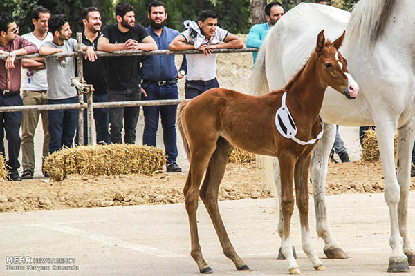 Turkmen-Horse-13