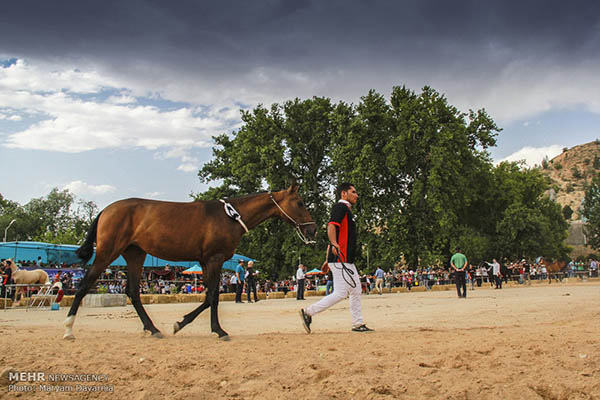 Turkmen-Horse-15