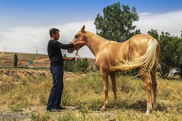 Turkmen-Horse-4