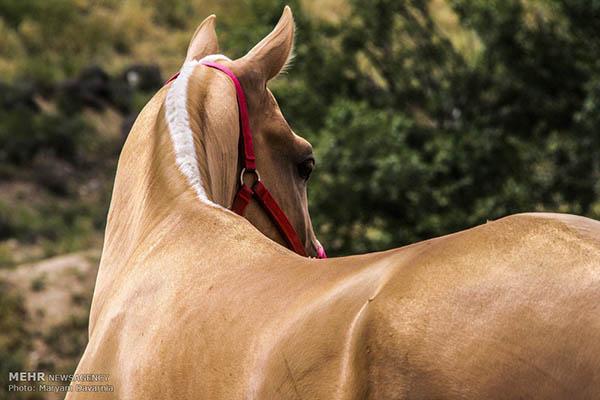Turkmen-Horse-5