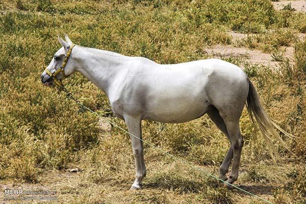 Turkmen-Horse-6