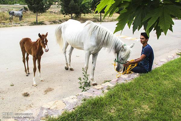 Turkmen-Horse-8
