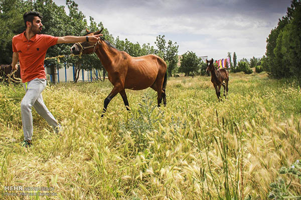Turkmen-Horse-9 (1)