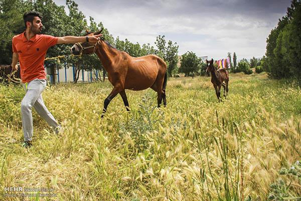 Turkmen-Horse-9