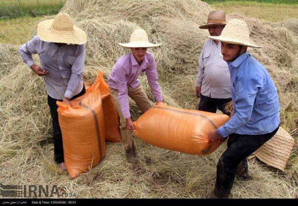 Harvesting Rice