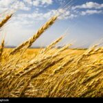 Wheat Fields _618