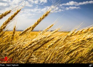 Wheat Fields _618