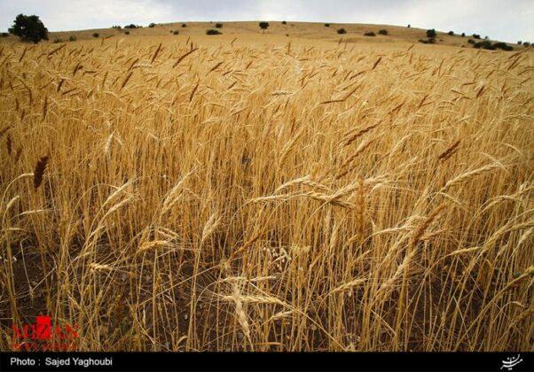 Wheat Fields _639
