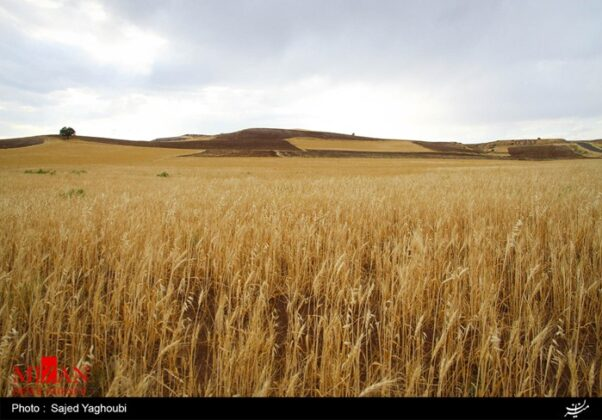 Wheat Fields _758