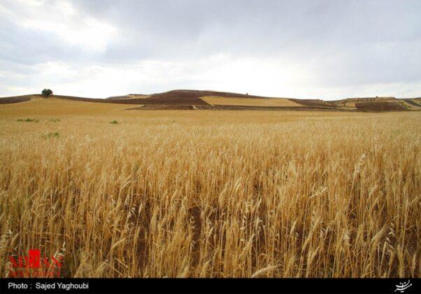 Wheat Fields _758