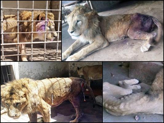 Yemeni Lions23
