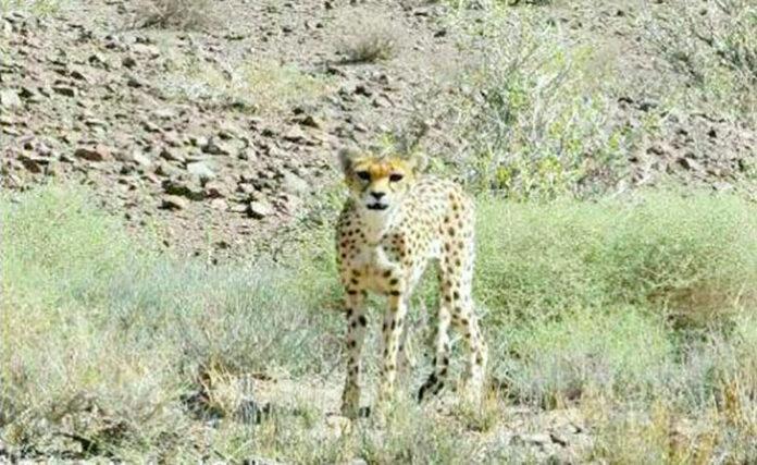 cheetah_tooran-1
