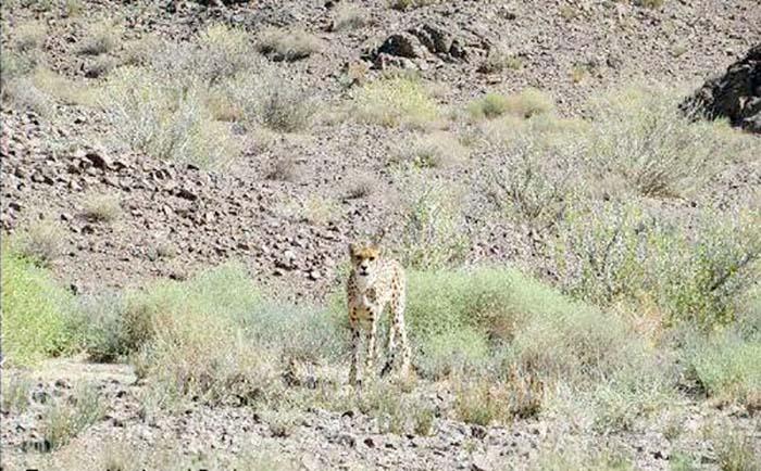 cheetah_tooran-2